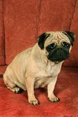 Pug sitting in front of red background. poster