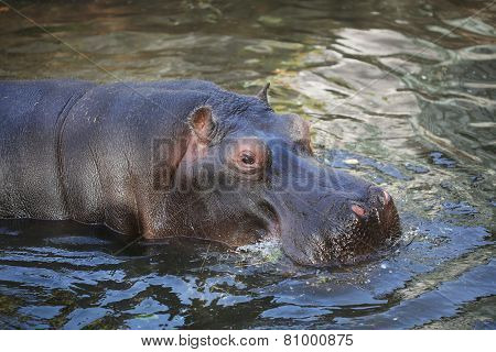 Hippo Resting In The Water