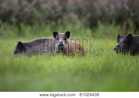 Wild boars in the clearing