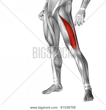 Concept or conceptual 3D vastus lateralis human upper leg anatomy or anatomical and muscle isolated on white background