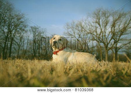 Labrador Puppy Sitting On Grass Vintage Retro Instagram Filter