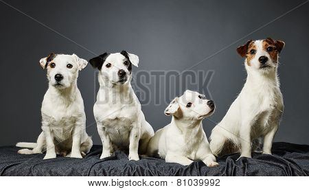 Jack Russell Terrier Family Portrait