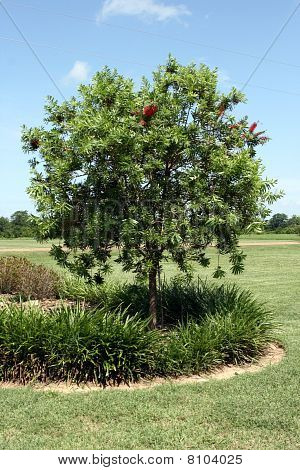 Bottlebrush Tree 2