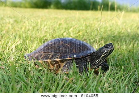 Turtle Going To Lay Eggs