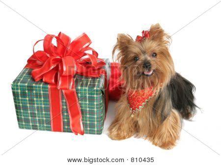 Yorkie with Christmas Gift