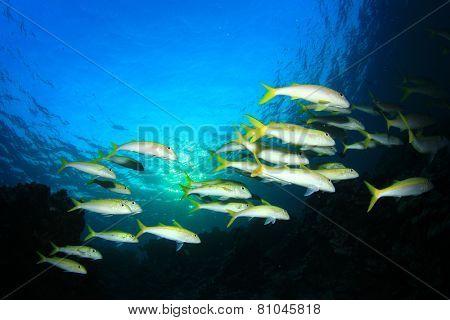 School of fish: yellow Goatfish