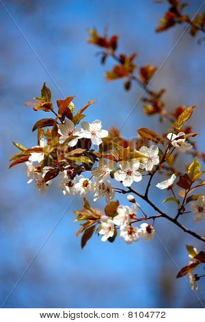 Cherry Plum Tree Flowers