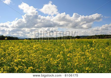 Field of Canola Flowers on a Historic Farm and Wildlife Refuge in Alaska