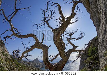 Dried Relict Pine On The Seashore. Crimea.