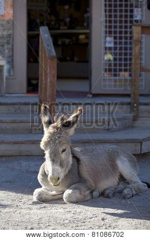 Baby Burro Resting On Street