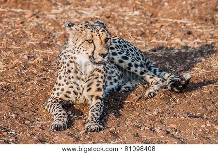 Cheetah Lying In The Sand