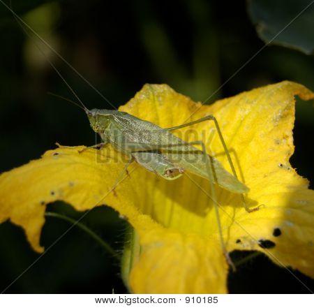 Unkwn Species Grasshopper