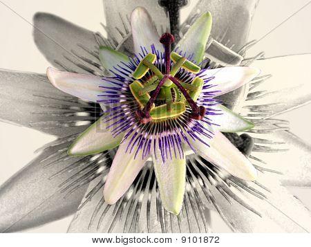 Pessaflora plant