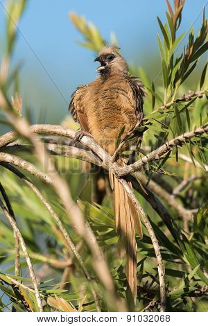 Speckled Mousebird (colius Striatus) Calling In The Middle Of Preening