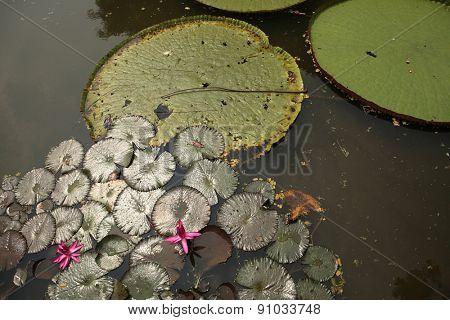 Victoria leaves (Victoria amazonica) in the Bogor Botanical Gardens, West Java, Indonesia.