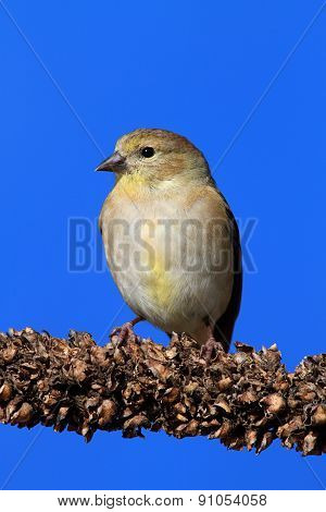 American Goldfinch (carduelis Tristis) On Blue