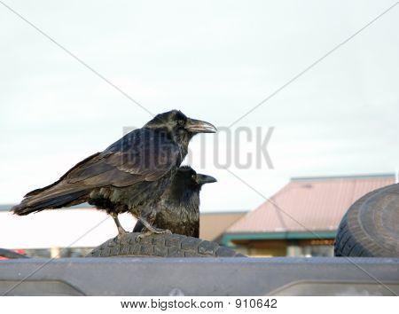 Tire Ravens