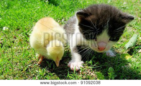 Kitten and baby chicks