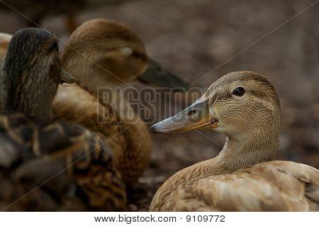 Female duck in the wild.