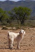 Angora kid with mountains in the background poster