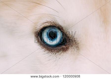 Close Up Of Blue Eye Of Husky Dog Puppy