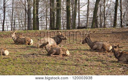 group of Altai wapitis