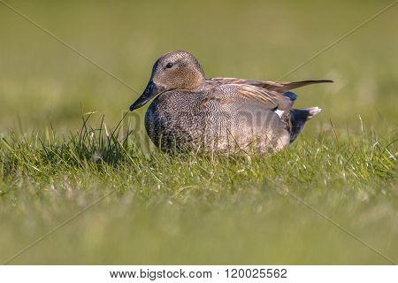 Male Gadwall In Grassland