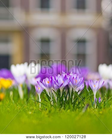 Group of violet crocus blooming in a field of spring flowers in a garden park ** Note: Shallow depth of field