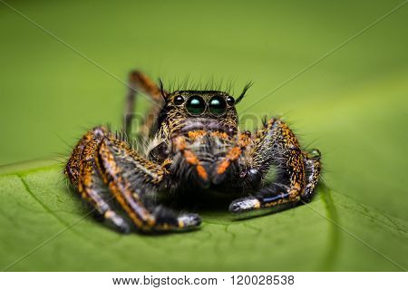 Macro Of Jumper Spider.