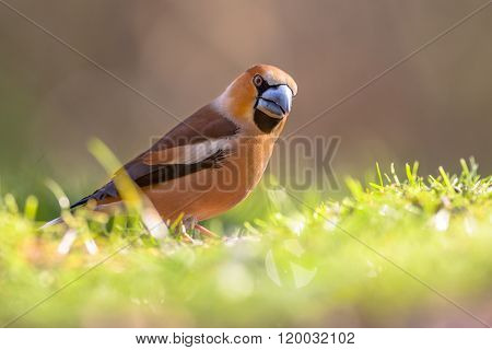 Hawfinch Walking In A Lawn