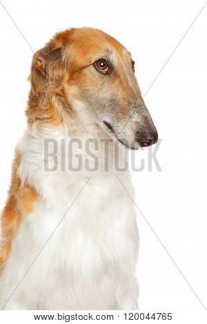Russian Borzoi Dog Isolated On White