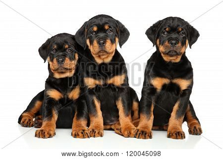 Cute Rottweiler Puppies On White