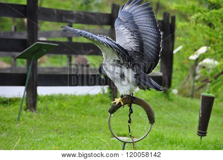 Grey Buzzard Trained In Captivity