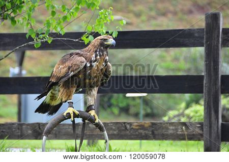 Brown Eagle Sitting