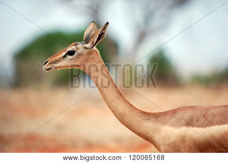 An Antelope In The Tsavo-ost National Park