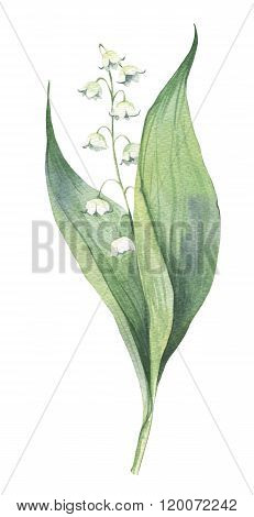 Watercolour hand-drawn early spring may-lily flower illustration poster