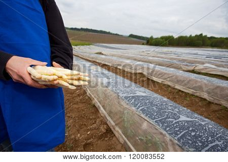 White Asparagus Held By A Farmer On A Field