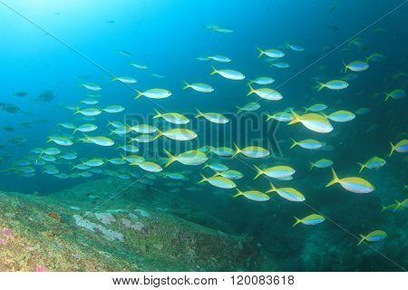 School fusilier fish on reef