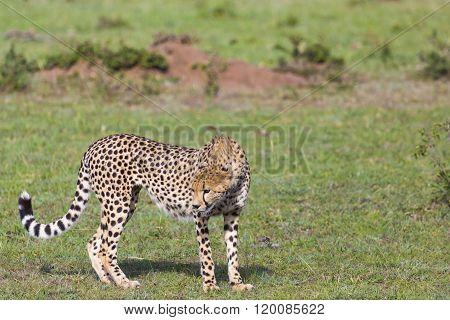 A Cheetah (acinonyx Jubatus) On The Masai Mara National Reserve Safari In Southwestern Kenya.
