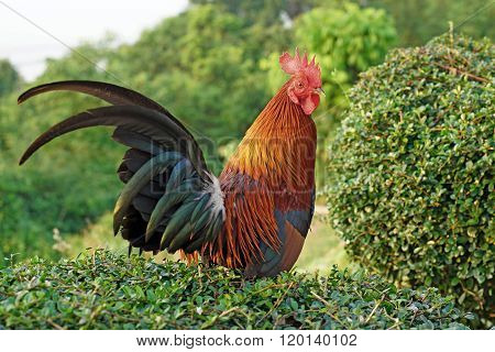 Rooster Stand On The Bush Plant