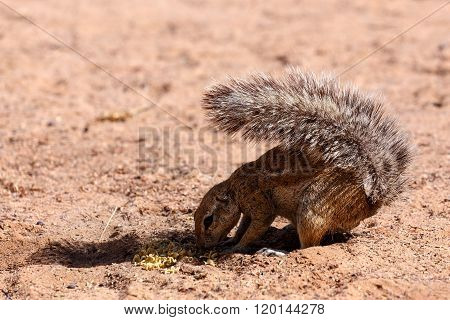 South African Ground Squirrel Xerus Inauris