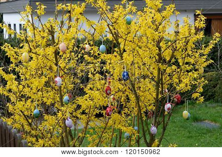Forsythia With Colorful Easter Eggs