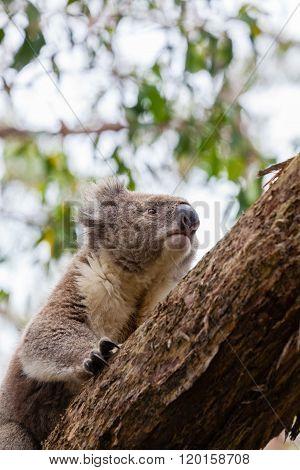 Wild koala at Great Otway National Park in Australia