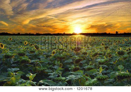 Sunnsetflowerscopy