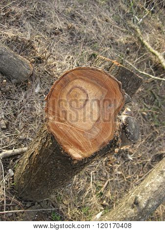 Stump Felled Plums
