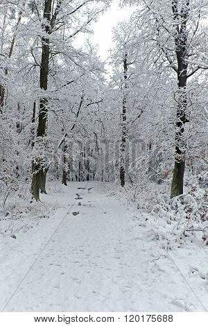 Forest Path With Trees In Winter With Snow