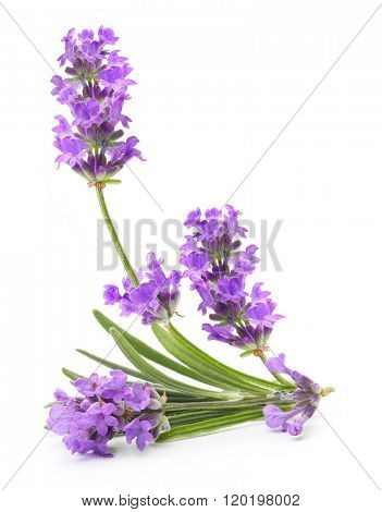 Bunch of flowering violet lavender herb isolated on white background.