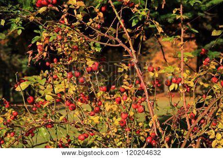 Wild Brier Plant