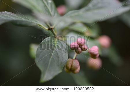 Spindle (Euonymus europaeus)