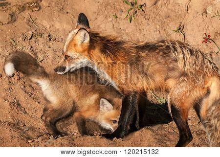 Red Fox Vixen (vulpes Vulpes) Sniffs Kit
